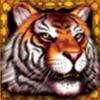 wild symbol - king tiger